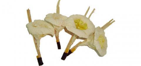 ดอกไม้จันทร์ Suriya Coffin สุริยาหีบศพ